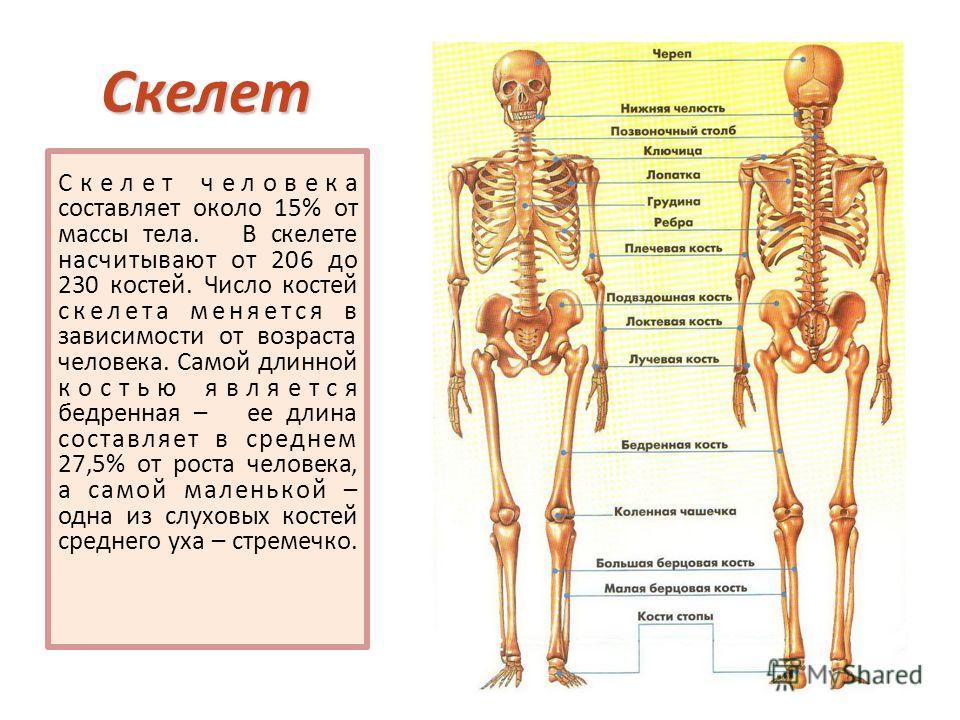 Скелет Скелет человека составляет около 15% от массы тела. В скелете насчитывают от 206 до 230 костей. Число костей скелета меняется в зависимости от возраста человека. Самой длинной костью является бедренная – ее длина составляет в среднем 27,5% от