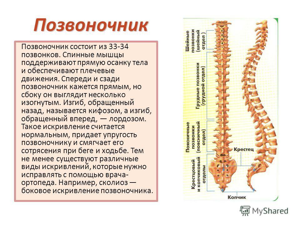 Позвоночник Позвоночник состоит из 33-34 позвонков. Спинные мышцы поддерживают прямую осанку тела и обеспечивают плечевые движения. Спереди и сзади позвоночник кажется прямым, но сбоку он выглядит несколько изогнутым. Изгиб, обращенный назад, называе