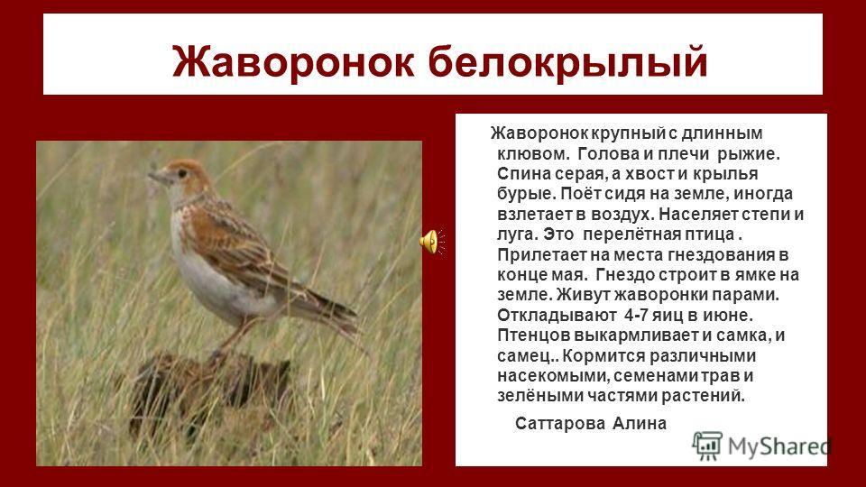 Жаворонок белокрылый Жаворонок крупный с длинным клювом. Голова и плечи рыжие. Спина серая, а хвост и крылья бурые. Поёт сидя на земле, иногда взлетает в воздух. Населяет степи и луга. Это перелётная птица. Прилетает на места гнездования в конце мая.