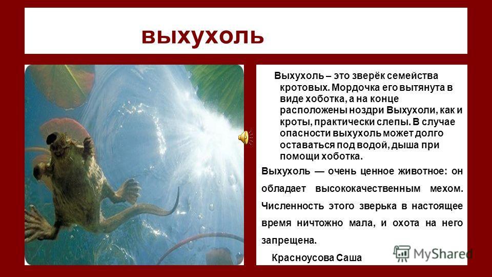 выхухоль фото Выхухоль – это зверёк семейства кротовых. Мордочка его вытянута в виде хоботка, а на конце расположены ноздри Выхухоли, как и кроты, практически слепы. В случае опасности выхухоль может долго оставаться под водой, дыша при помощи хоботк
