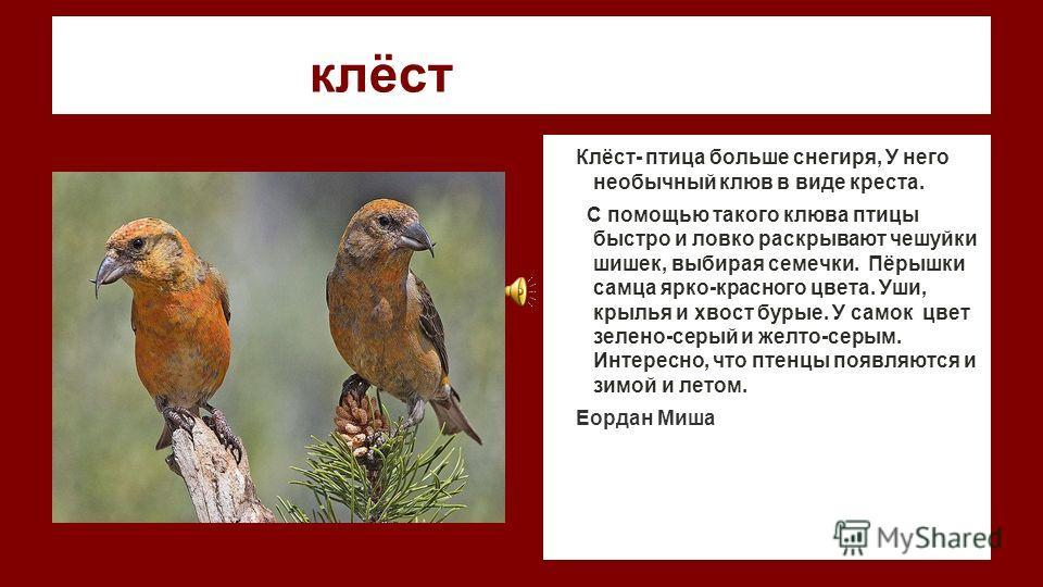 клёст Клёст- птица больше снегиря, У него необычный клюв в виде креста. С помощью такого клюва птицы быстро и ловко раскрывают чешуйки шишек, выбирая семечки. Пёрышки самца ярко-красного цвета. Уши, крылья и хвост бурые. У самок цвет зелено-серый и ж