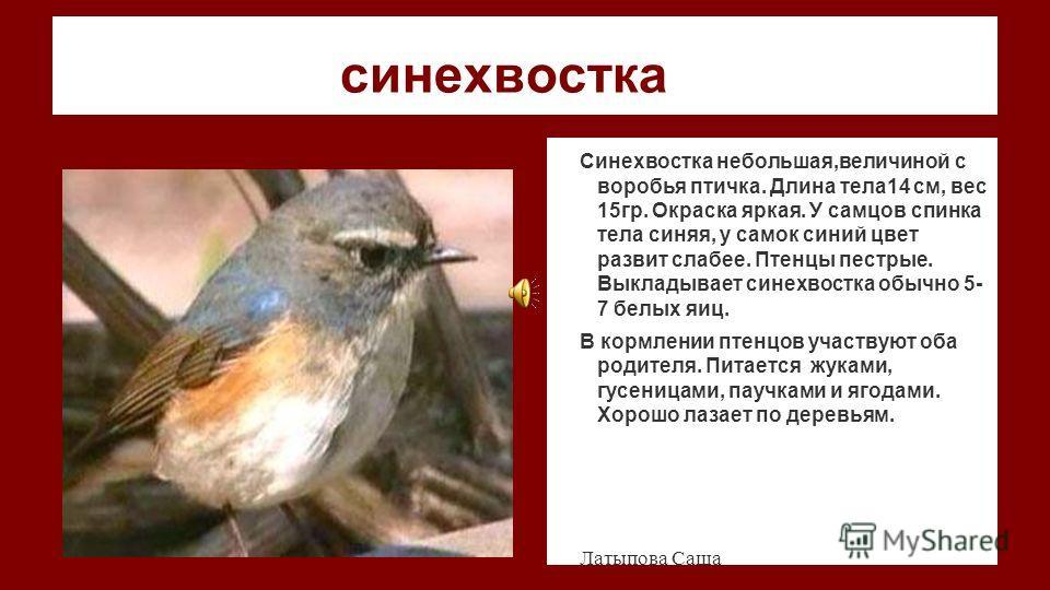синехвостка Синехвостка небольшая,величиной с воробья птичка. Длина тела14 см, вес 15гр. Окраска яркая. У самцов спинка тела синяя, у самок синий цвет развит слабее. Птенцы пестрые. Выкладывает синехвостка обычно 5- 7 белых яиц. В кормлении птенцов у