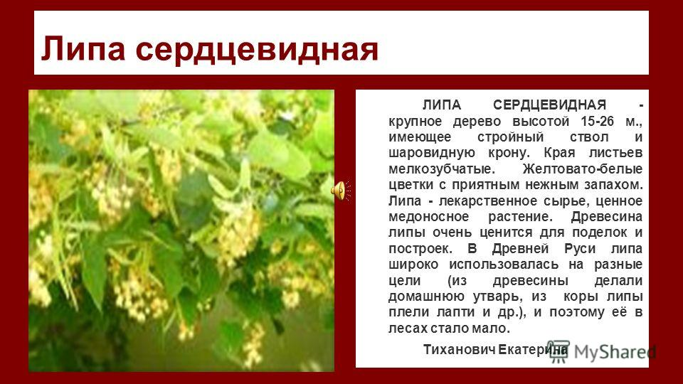 Липа сердцевидная ЛИПА СЕРДЦЕВИДНАЯ - крупное дерево высотой 15-26 м., имеющее стройный ствол и шаровидную крону. Края листьев мелкозубчатые. Желтовато-белые цветки с приятным нежным запахом. Липа - лекарственное сырье, ценное медоносное растение. Др