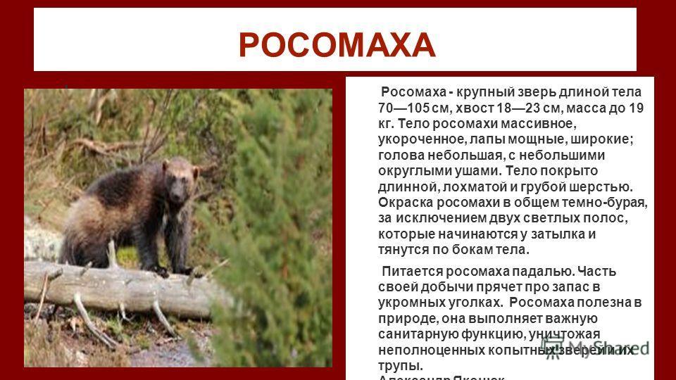 РОСОМАХА фото Росомаха - крупный зверь длиной тела 70105 см, хвост 1823 см, масса до 19 кг. Тело росомахи массивное, укороченное, лапы мощные, широкие; голова небольшая, с небольшими округлыми ушами. Тело покрыто длинной, лохматой и грубой шерстью. О