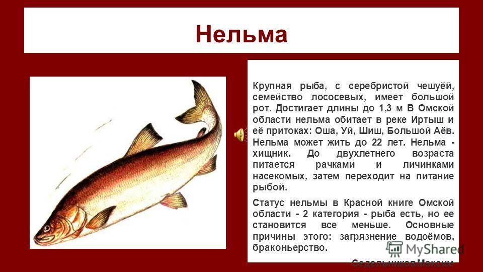 Нельма Крупная рыба, с серебристой чешуёй, семейство лососевых, имеет большой рот. Достигает длины до 1,3 м В Омской области нельма обитает в реке Иртыш и её притоках: Оша, Уй, Шиш, Большой Аёв. Нельма может жить до 22 лет. Нельма - хищник. До двухле