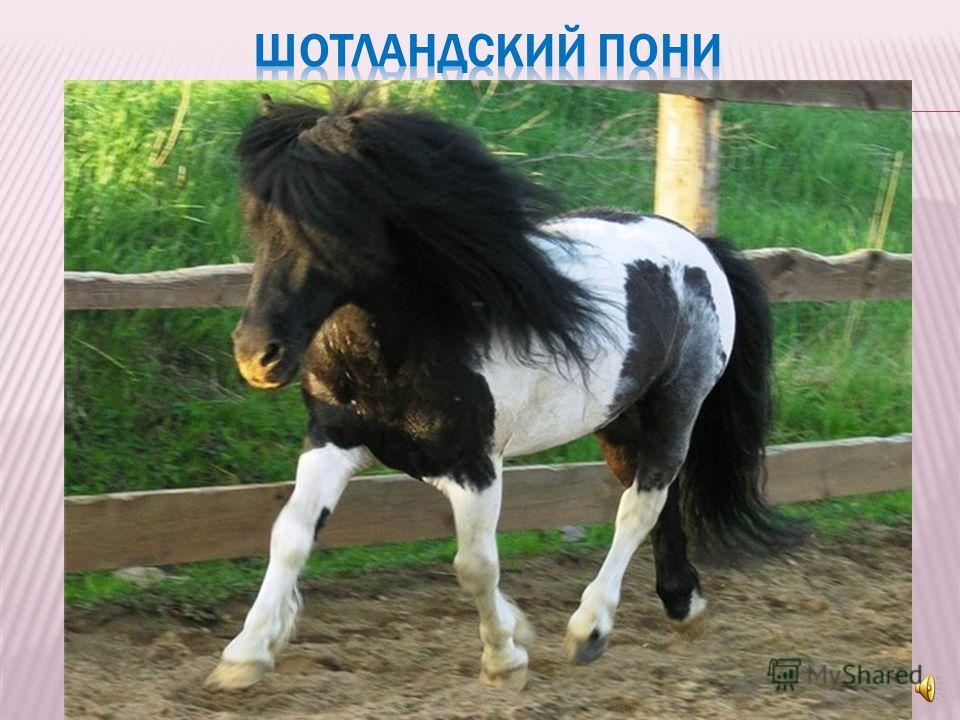 Чтобы в будущем стать чемпионом во взрослом конном спорте, малыши начинают свои занятия с езды на пони – низкорослых забавных шотландских лошадок с густой гривой и умными глазами.