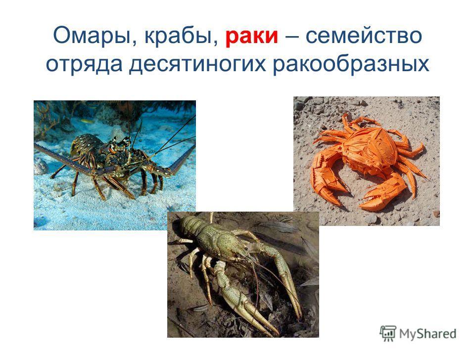 Омары, крабы, раки – семейство отряда десятиногих ракообразных