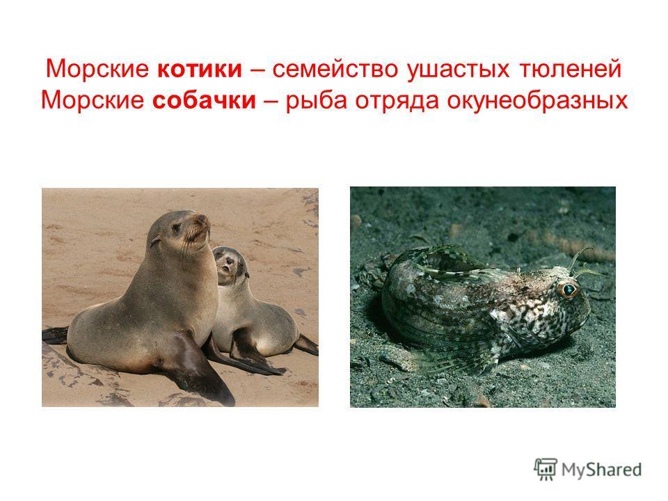 Морские котики – семейство ушастых тюленей Морские собачки – рыба отряда окунеобразных
