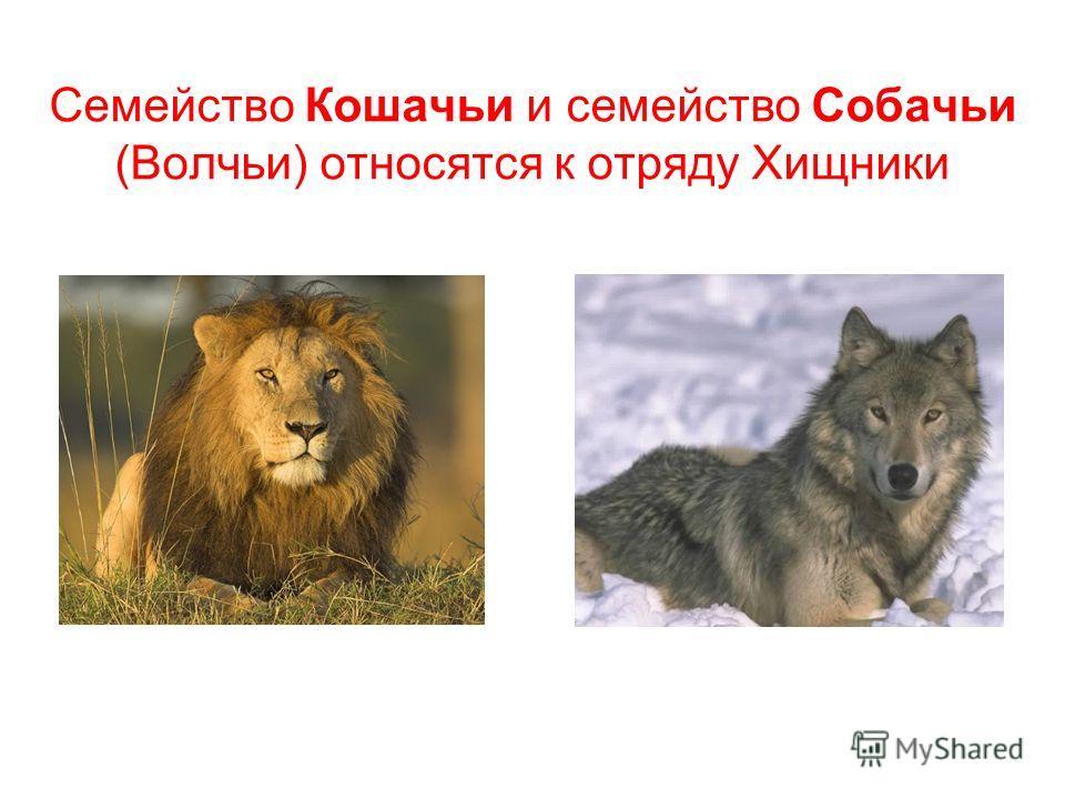 Семейство Кошачьи и семейство Собачьи (Волчьи) относятся к отряду Хищники