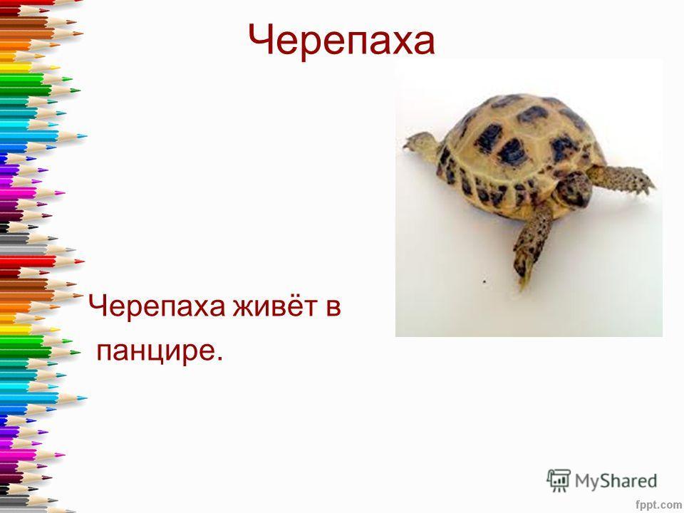 Черепаха Черепаха живёт в панцире.