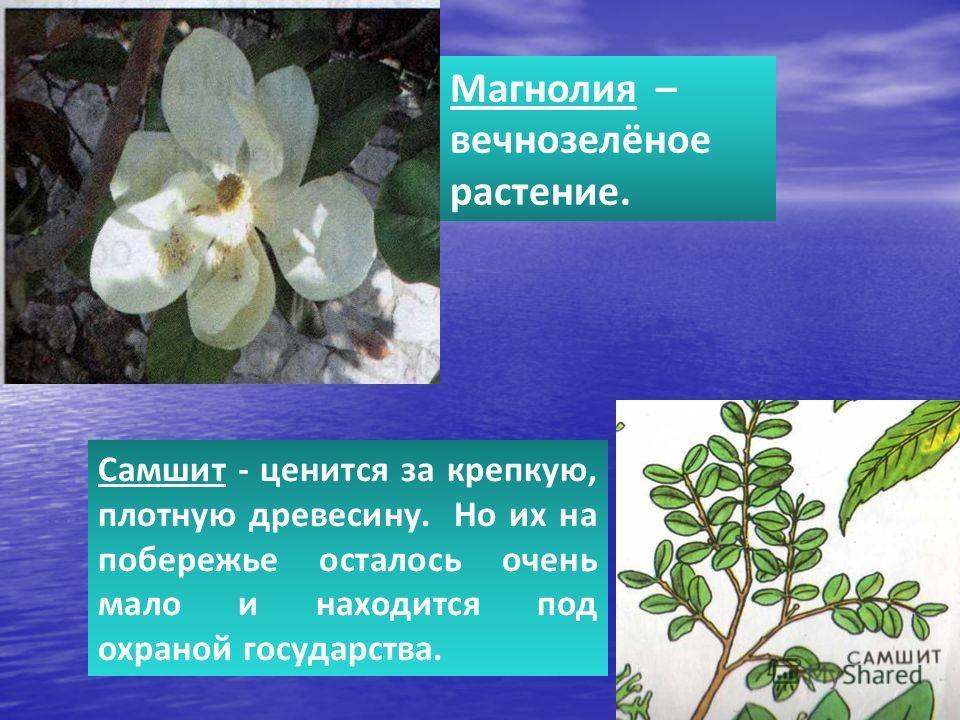 Магнолия – вечнозелёное растение. Самшит - ценится за крепкую, плотную древесину. Но их на побережье осталось очень мало и находится под охраной государства.