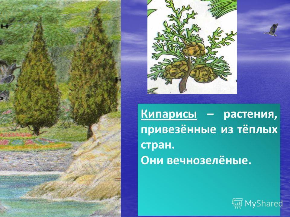Кипарисы – растения, привезённые из тёплых стран. Они вечнозелёные.