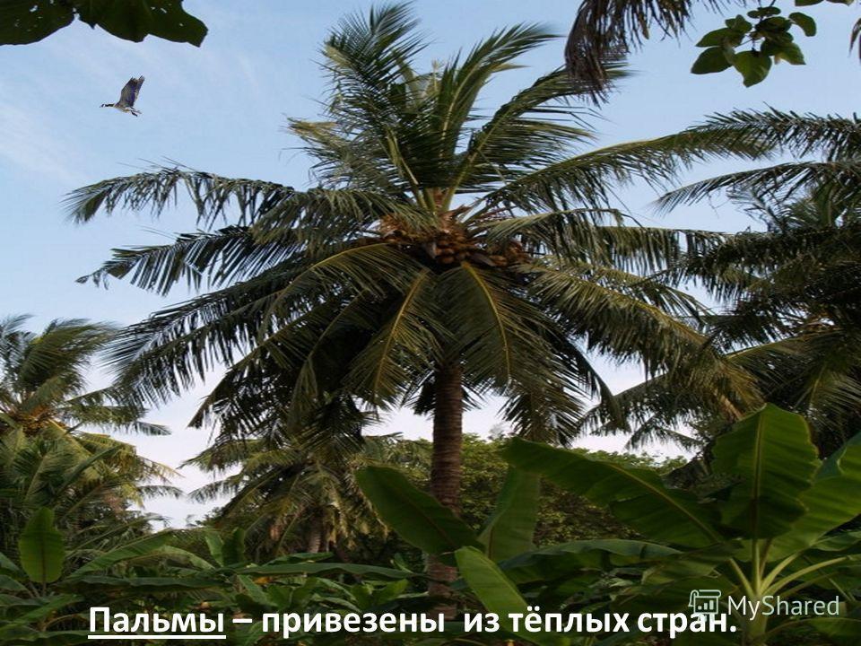 Пальмы – привезены из тёплых стран.
