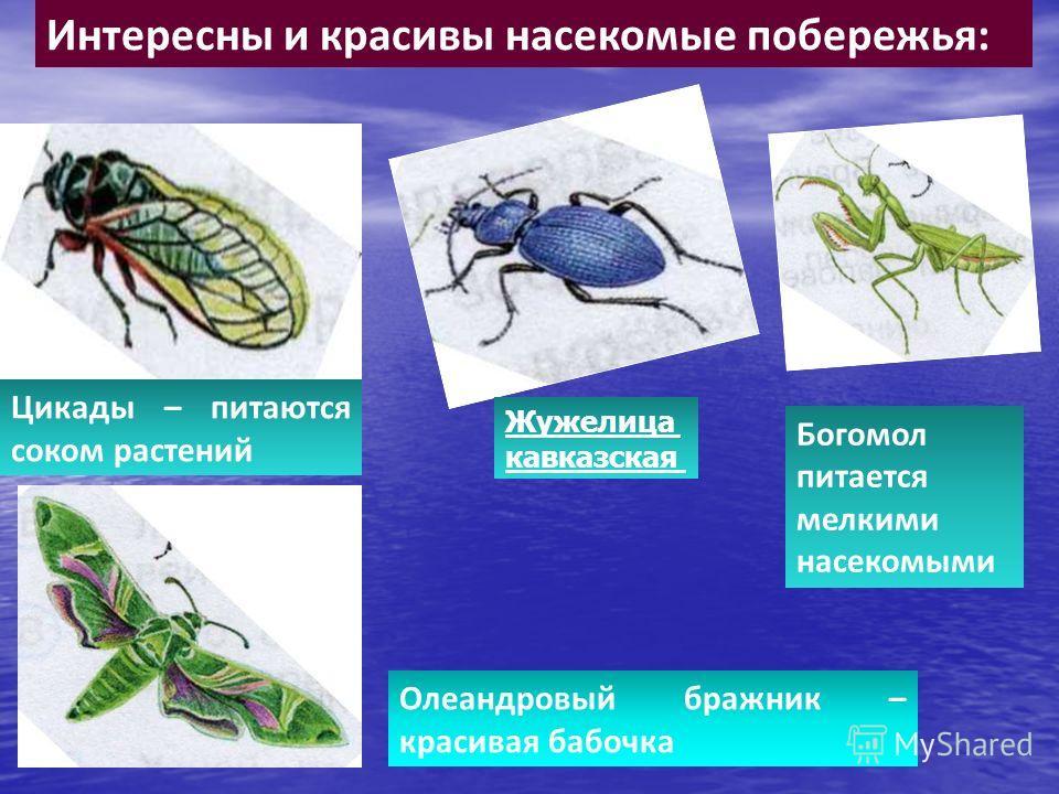 Интересны и красивы насекомые побережья: Цикады – питаются соком растений Богомол питается мелкими насекомыми Жужелица кавказская Олеандровый бражник – красивая бабочка