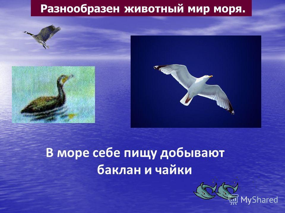Разнообразен животный мир моря. В море себе пищу добывают баклан и чайки