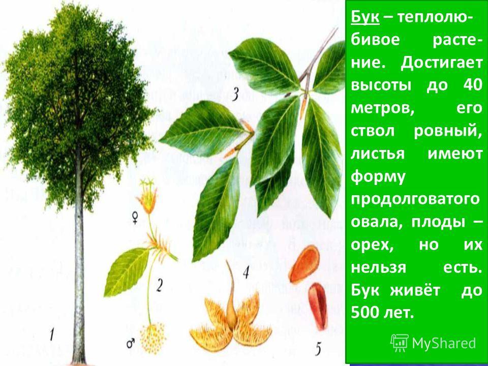 Бук – теплолю- бивое расте- ние. Достигает высоты до 40 метров, его ствол ровный, листья имеют форму продолговатого овала, плоды – орех, но их нельзя есть. Бук живёт до 500 лет.