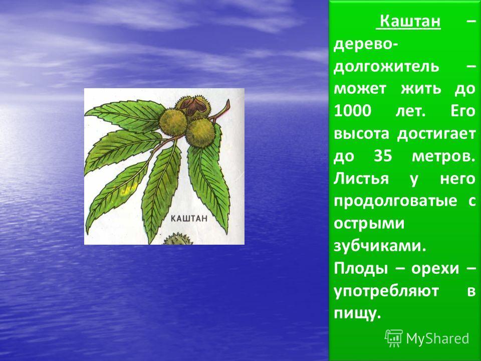 Каштан – дерево- долгожитель – может жить до 1000 лет. Его высота достигает до 35 метров. Листья у него продолговатые с острыми зубчиками. Плоды – орехи – употребляют в пищу.