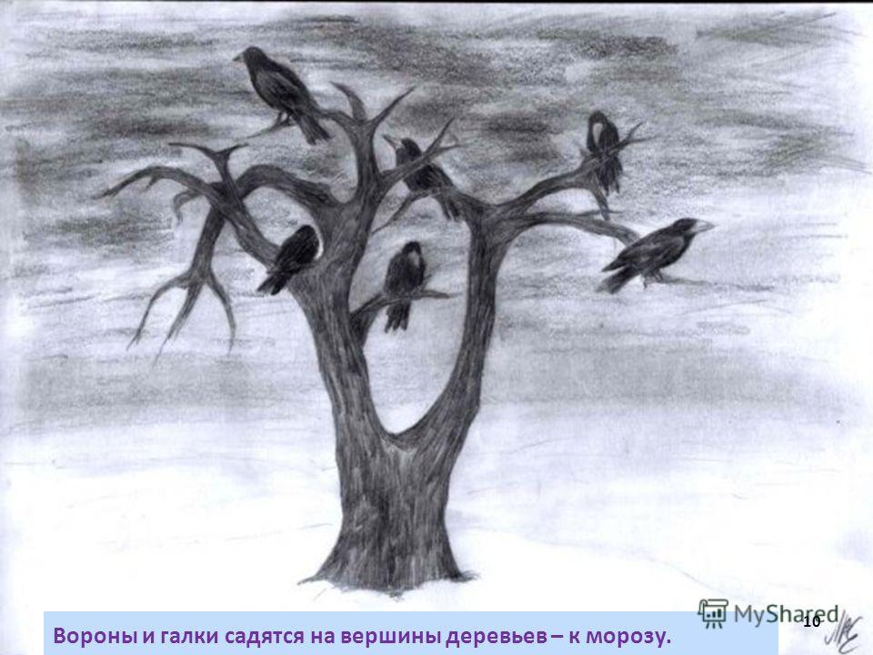 Вороны и галки садятся на вершины деревьев – к морозу. 10