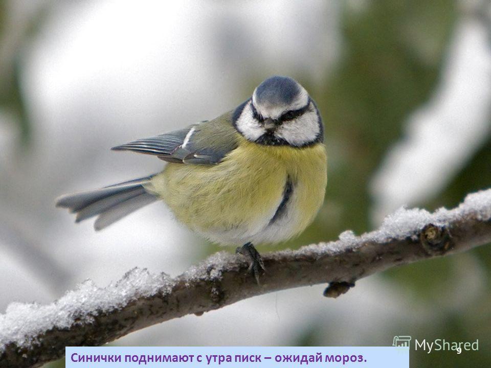 Синички поднимают с утра писк – ожидай мороз. 9