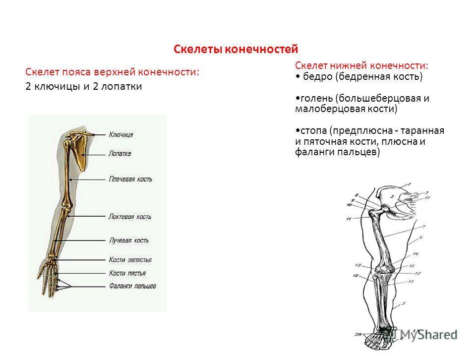 Скелеты конечностей Скелет пояса верхней конечности: 2 ключицы и 2 лопатки Скелет нижней конечности: бедро (бедренная кость) голень (большеберцовая и малоберцовая кости) стопа (предплюсна - таранная и пяточная кости, плюсна и фаланги пальцев)