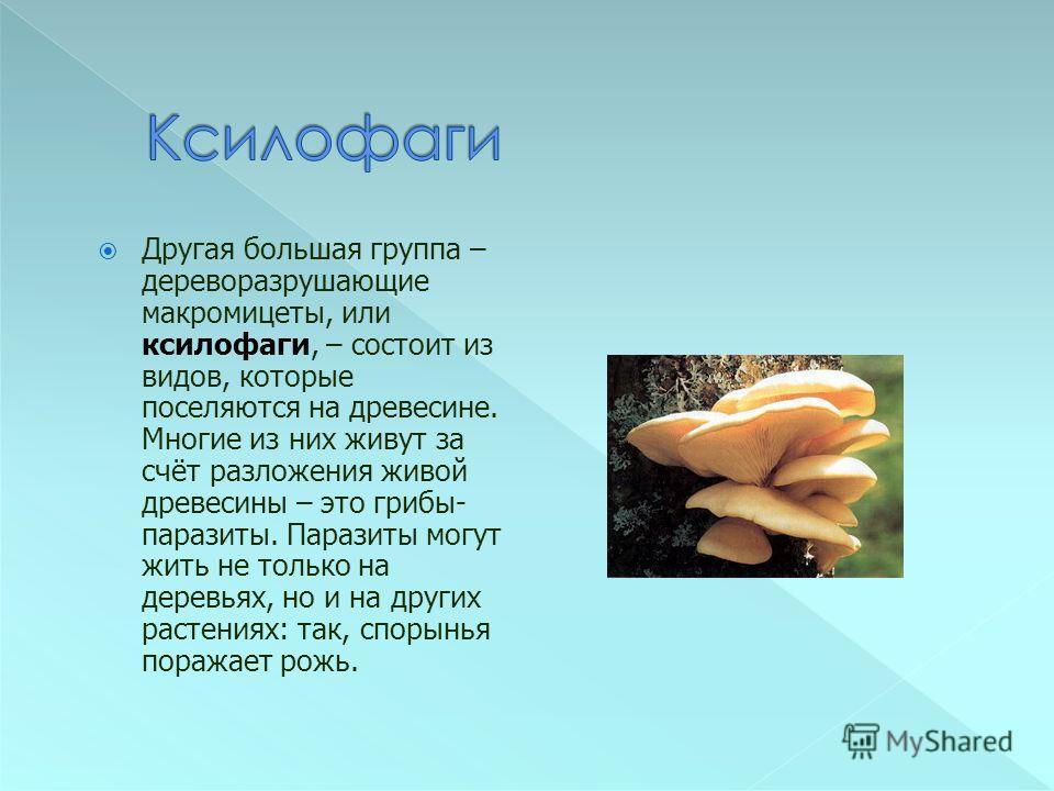 Другая большая группа – дереворазрушающие макромицеты, или ксилофаги, – состоит из видов, которые поселяются на древесине. Многие из них живут за счёт разложения живой древесины – это грибы- паразиты. Паразиты могут жить не только на деревьях, но и н