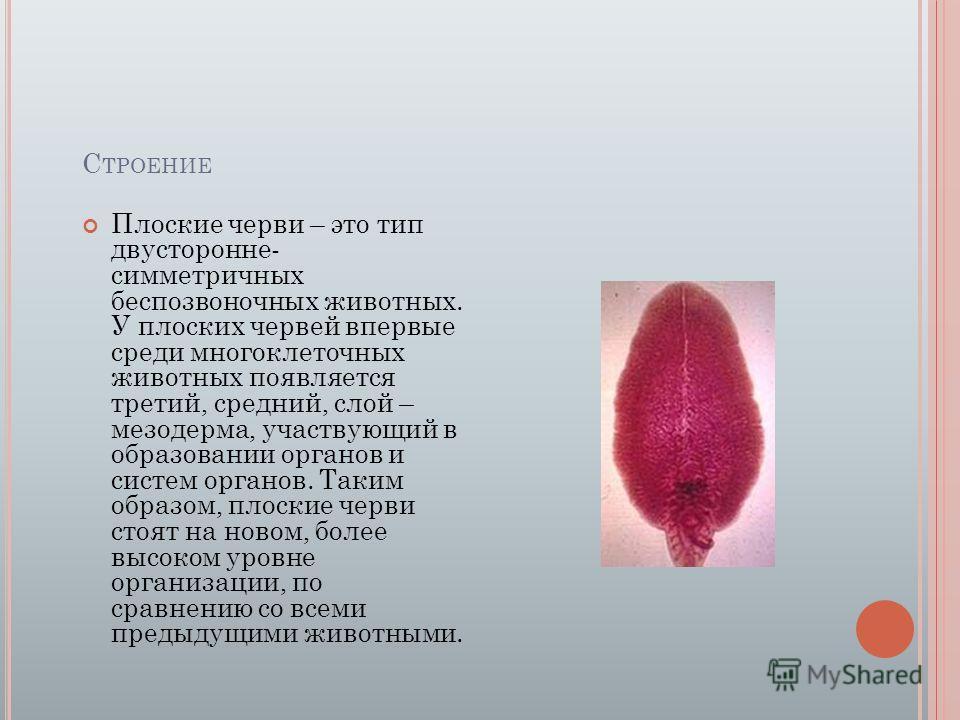 С ТРОЕНИЕ Плоские черви – это тип двусторонне- симметричных беспозвоночных животных. У плоских червей впервые среди многоклеточных животных появляется третий, средний, слой – мезодерма, участвующий в образовании органов и систем органов. Таким образо
