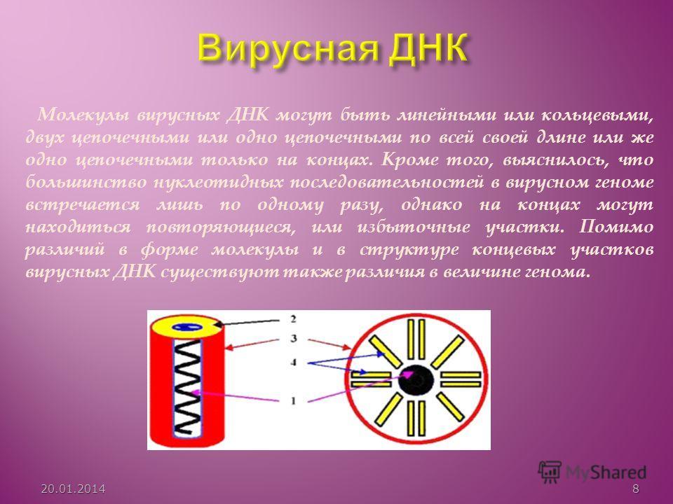 Молекулы вирусных ДНК могут быть линейными или кольцевыми, двух цепочечными или одно цепочечными по всей своей длине или же одно цепочечными только на концах. Кроме того, выяснилось, что большинство нуклеотидных последовательностей в вирусном геноме