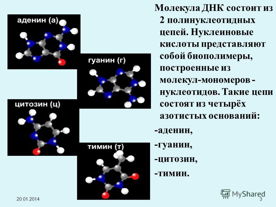 М олекула Д НК с остоит и з 2 п олинуклеотидных цепей. Н уклеиновые кислоты п редставляют собой б иополимеры, построенные и з молекул - мономеров - нуклеотидов. Т акие ц епи состоят и з ч етырёх азотистых о снований : - аденин, - гуанин, - цитозин, -