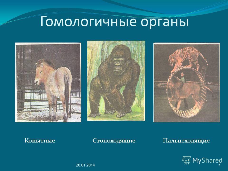 Гомологичные органы Копытные Стопоходящие Пальцеходящие 20.01.20147