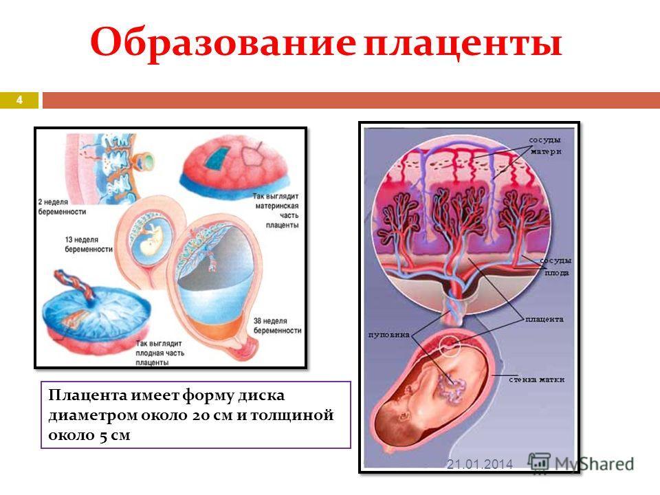 Образование плаценты Плацента имеет форму диска диаметром около 20 см и толщиной около 5 см 21.01.2014 4