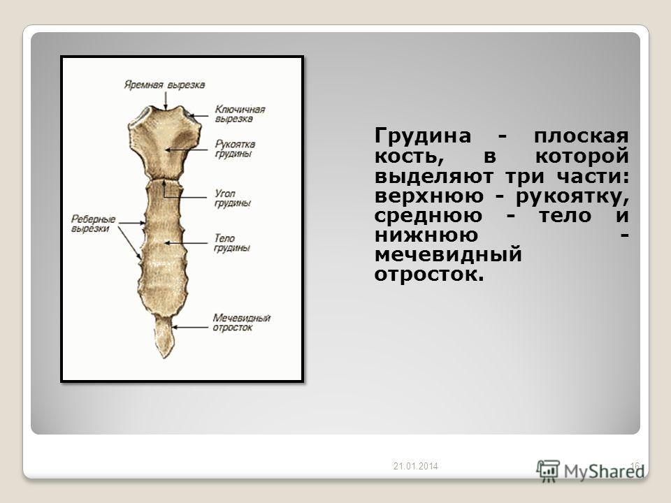 Грудина - плоская кость, в которой выделяют три части: верхнюю - рукоятку, среднюю - тело и нижнюю - мечевидный отросток. 21.01.201416