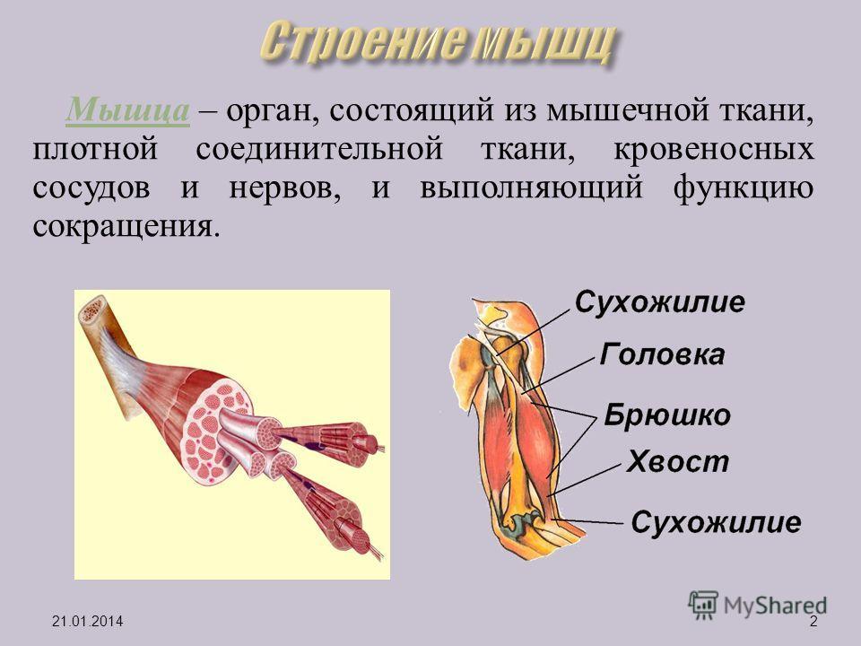 Мышца – орган, состоящий из мышечной ткани, плотной соединительной ткани, кровеносных сосудов и нервов, и выполняющий функцию сокращения. 21.01.20142