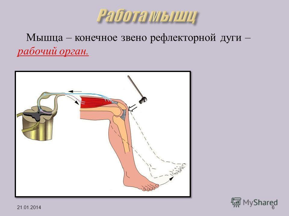 Мышца – конечное звено рефлекторной дуги – рабочий орган. 21.01.20146
