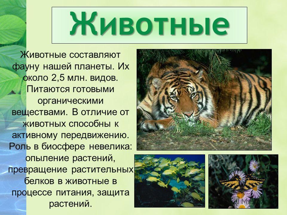 Животные Животные составляют фауну нашей планеты. Их около 2,5 млн. видов. Питаются готовыми органическими веществами. В отличие от животных способны к активному передвижению. Роль в биосфере невелика: опыление растений, превращение растительных белк