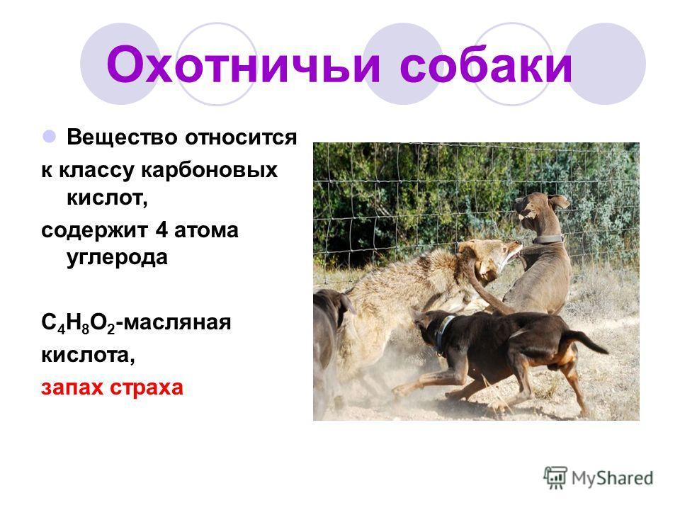 Охотничьи собаки Вещество относится к классу карбоновых кислот, содержит 4 атома углерода C 4 H 8 O 2 -масляная кислота, запах страха