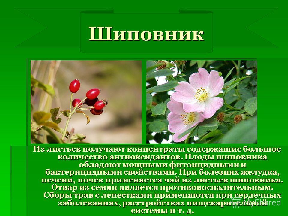 Из листьев получают концентраты содержащие большое количество антиоксидантов. Плоды шиповника обладают мощными фитонцидными и бактерицидными свойствами. При болезнях желудка, печени, почек применяется чай из листьев шиповника. Отвар из семян является