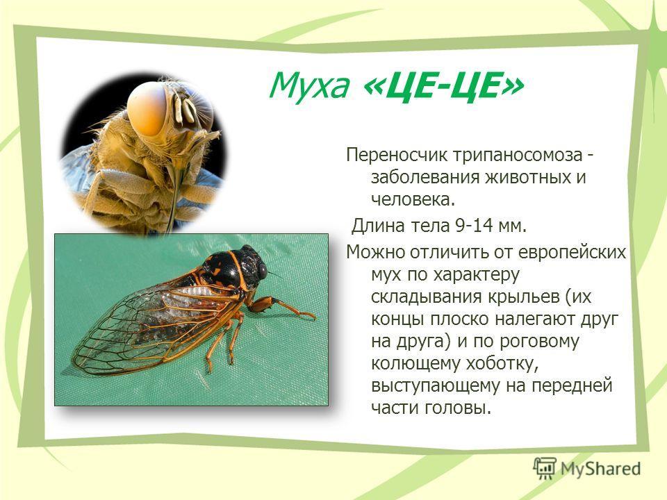 Муха «ЦЕ-ЦЕ» Переносчик трипаносомоза - заболевания животных и человека. Длина тела 9-14 мм. Можно отличить от европейских мух по характеру складывания крыльев (их концы плоско налегают друг на друга) и по роговому колющему хоботку, выступающему на п