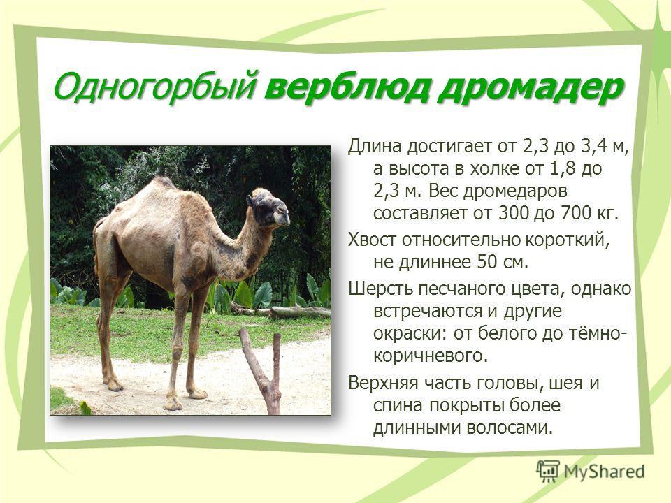 Одногорбый верблюд дромадер Длина достигает от 2,3 до 3,4 м, а высота в холке от 1,8 до 2,3 м. Вес дромедаров составляет от 300 до 700 кг. Хвост относительно короткий, не длиннее 50 см. Шерсть песчаного цвета, однако встречаются и другие окраски: от