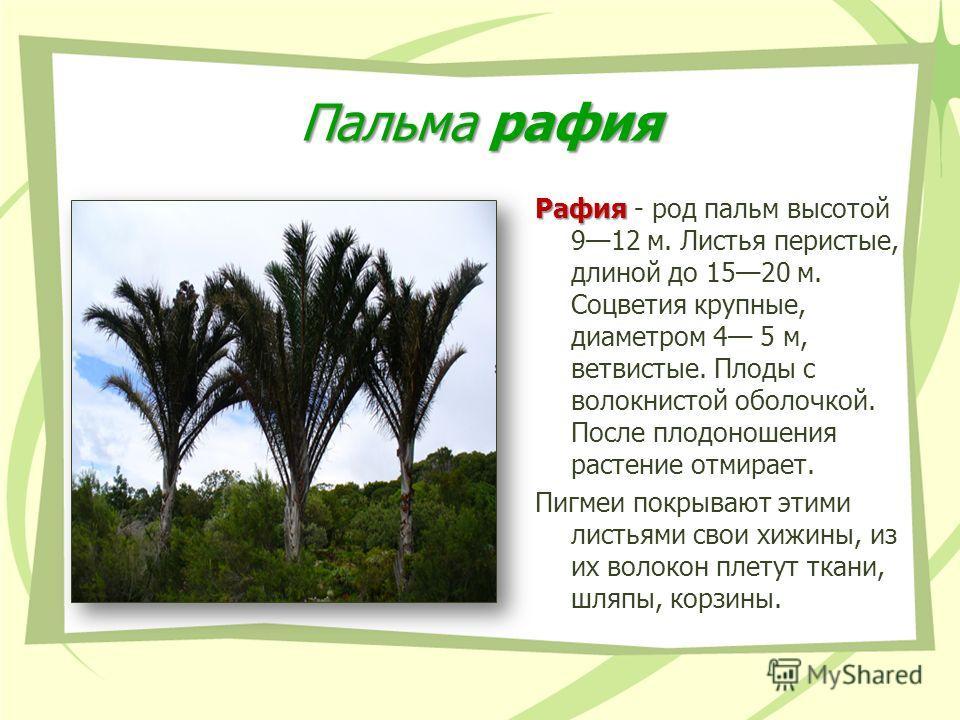 Пальма рафия Рафия Рафия - род пальм высотой 912 м. Листья перистые, длиной до 1520 м. Соцветия крупные, диаметром 4 5 м, ветвистые. Плоды с волокнистой оболочкой. После плодоношения растение отмирает. Пигмеи покрывают этими листьями свои хижины, из