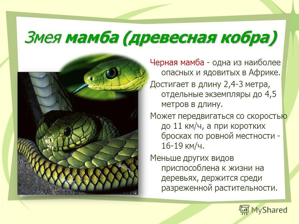 Змея мамба (древесная кобра) Черная мамба - одна из наиболее опасных и ядовитых в Африке. Достигает в длину 2,4-3 метра, отдельные экземпляры до 4,5 метров в длину. Может передвигаться со скоростью до 11 км/ч, а при коротких бросках по ровной местнос