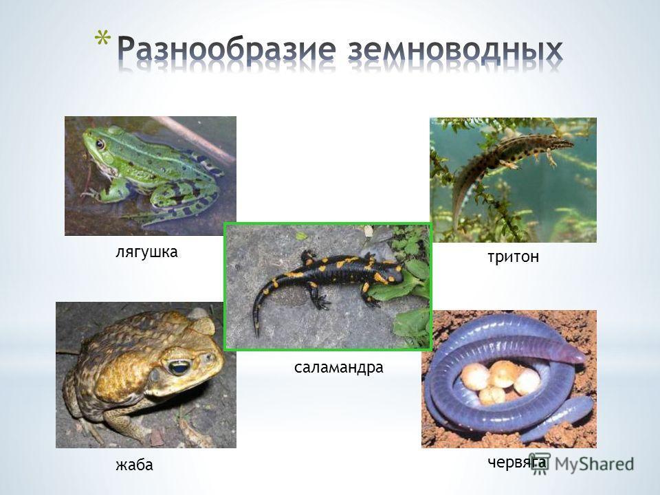 тритон червяга саламандра жаба лягушка