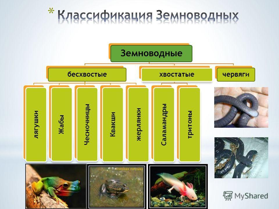 Земноводные бесхвостые лягушки Жабы Чесночницы Квакши жерлянки хвостатые Саламандры тритоны червяги