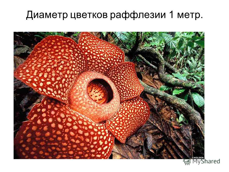 Диаметр цветков раффлезии 1 метр.