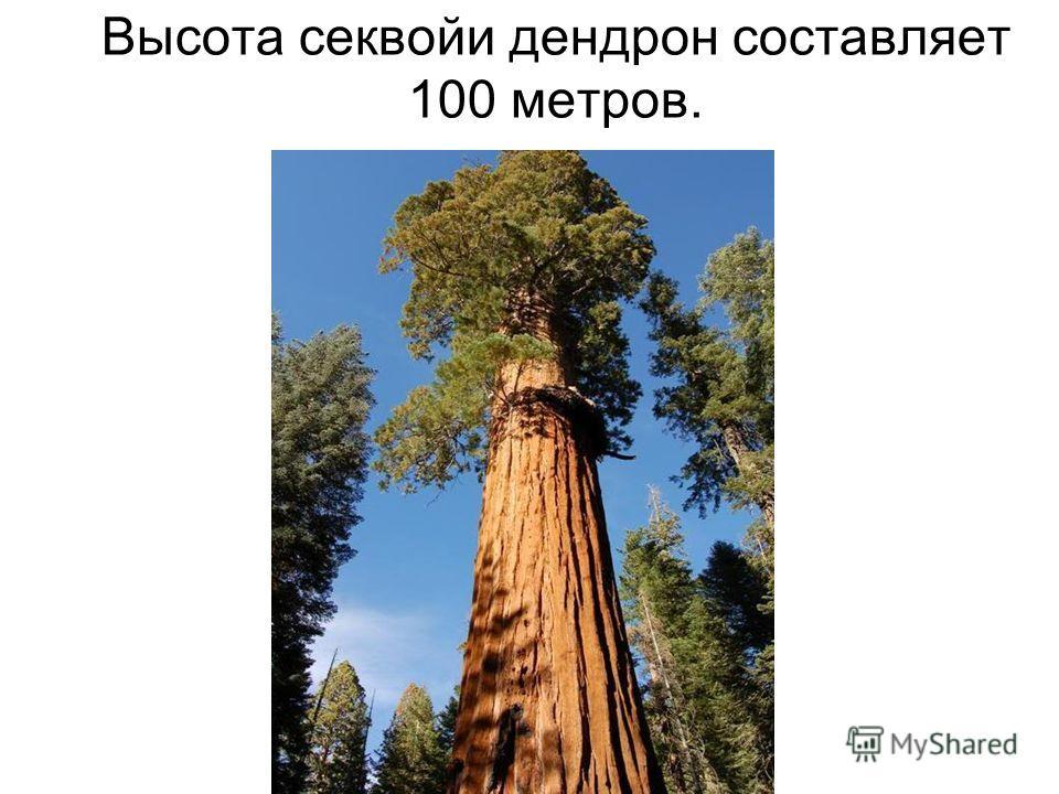 Высота секвойи дендрон составляет 100 метров.
