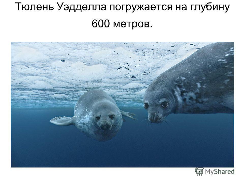 Тюлень Уэдделла погружается на глубину 600 метров.
