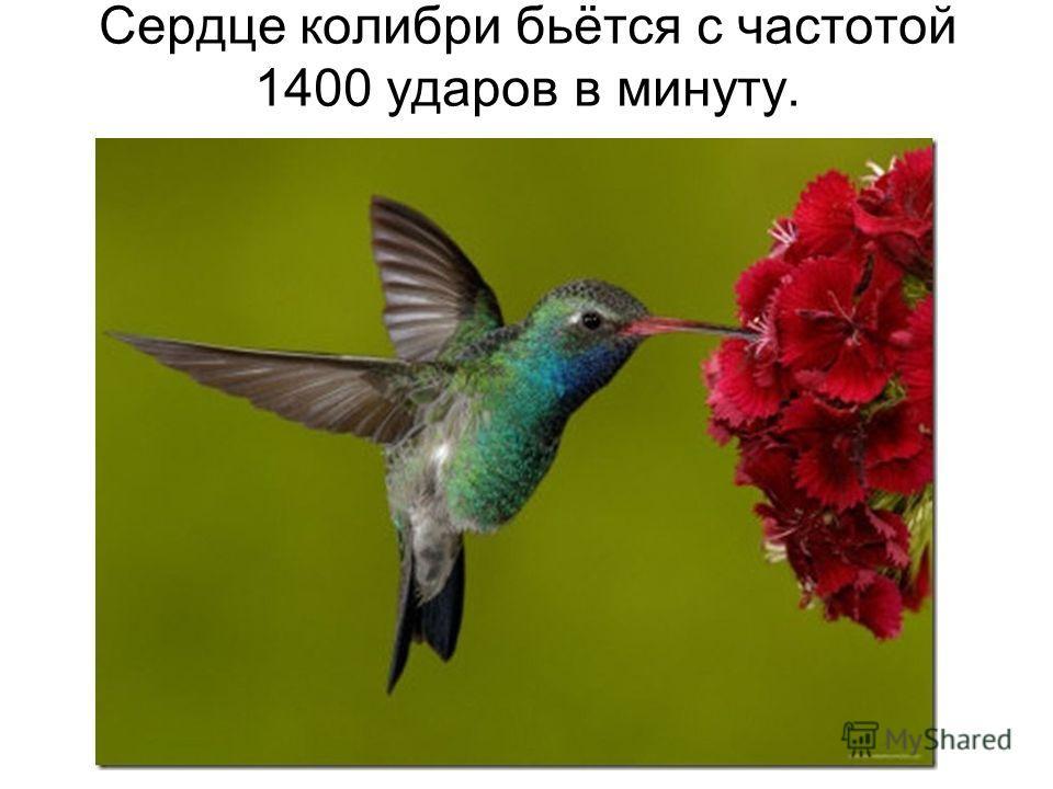 Сердце колибри бьётся с частотой 1400 ударов в минуту.