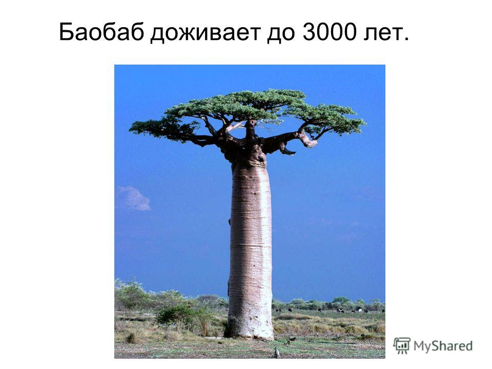 Баобаб доживает до 3000 лет.