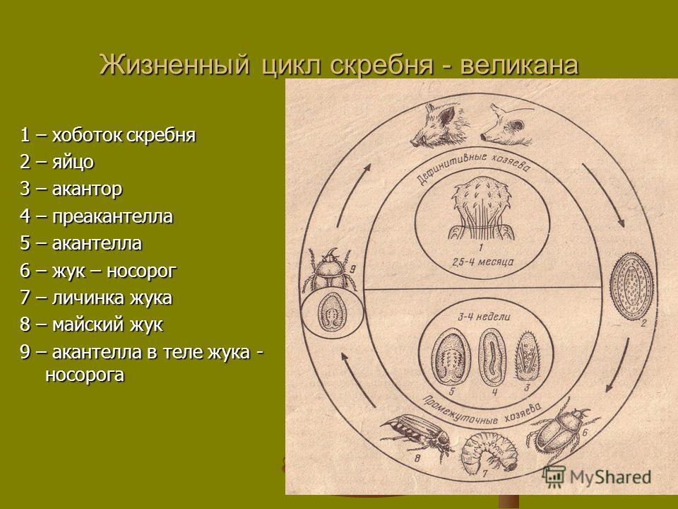 Жизненный цикл скребня - великана 1 – хоботок скребня 2 – яйцо 3 – акантор 4 – преакантелла 5 – акантелла 6 – жук – носорог 7 – личинка жука 8 – майский жук 9 – акантелла в теле жука - носорога