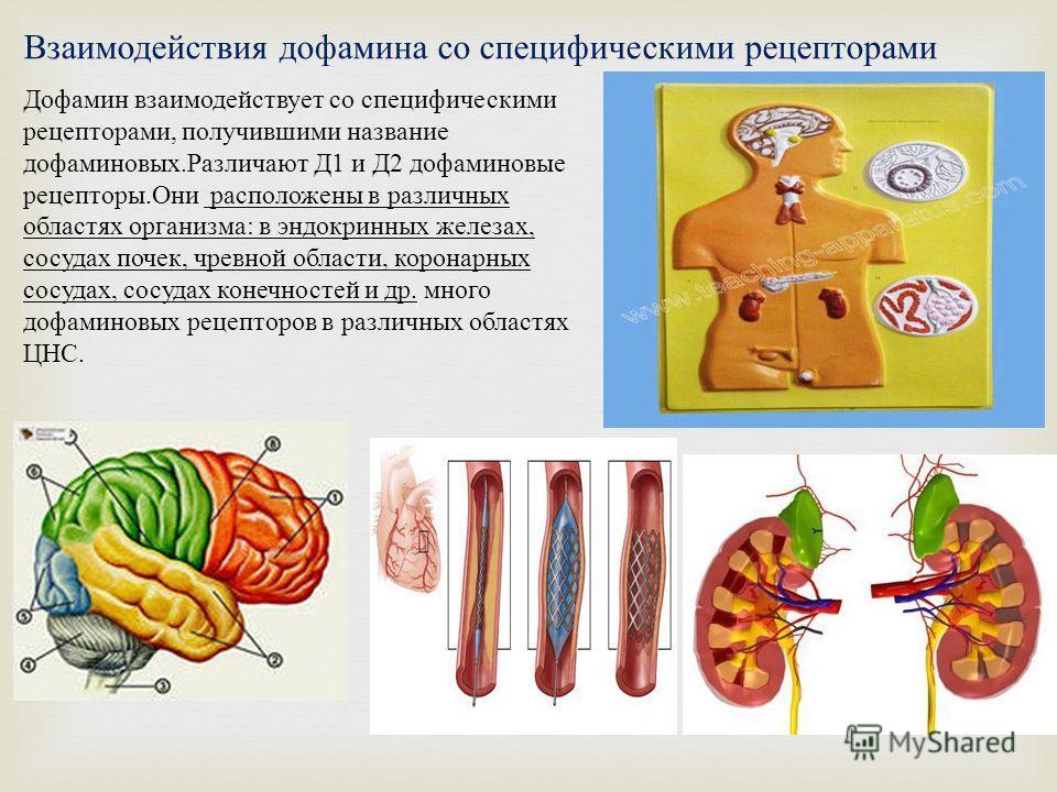 Взаимодействия дофамина со специфическими рецепторами Дофамин взаимодействует со специфическими рецепторами, получившими название дофаминовых. Различают Д 1 и Д 2 дофаминовые рецепторы. Они расположены в различных областях организма : в эндокринных ж