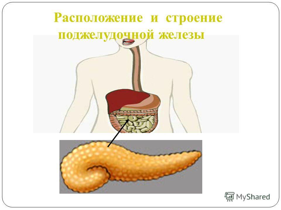 Расположение и строение поджелудочной железы